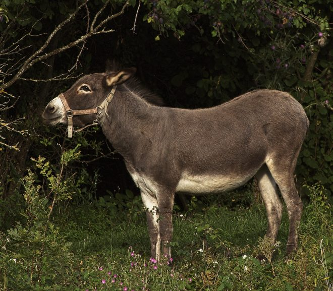 4 Best Places With Donkeys for Sale In Maine