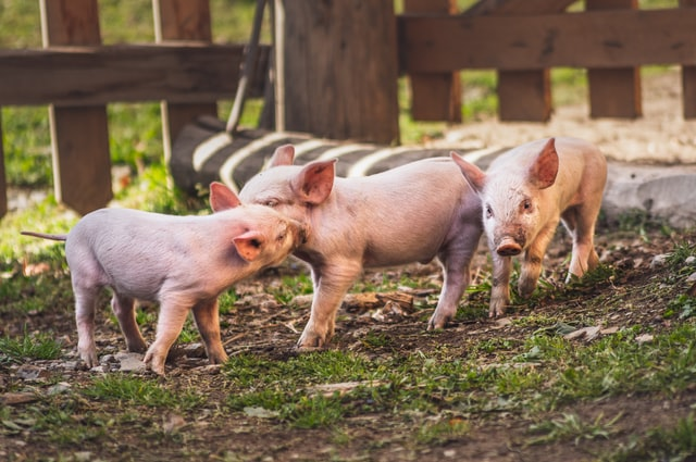 8 Best Pig Farms in California! (2021)